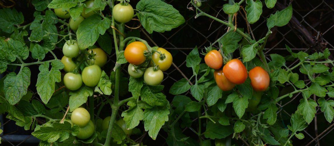 tomatoes-1583145_1920